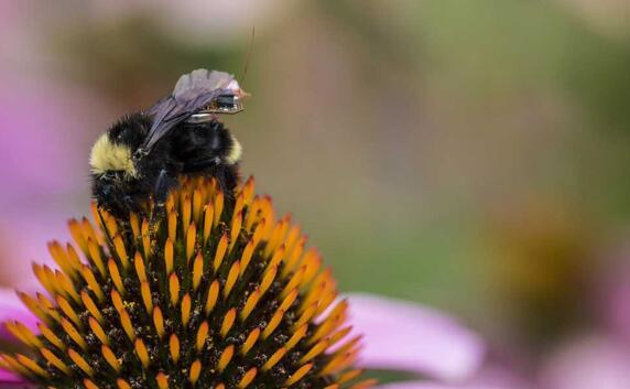 """小蜜蜂来帮忙 背上微型传感器""""背包""""农场忙"""